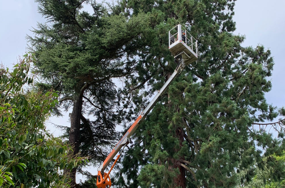 Our tree care specialists deadwooding a large tree